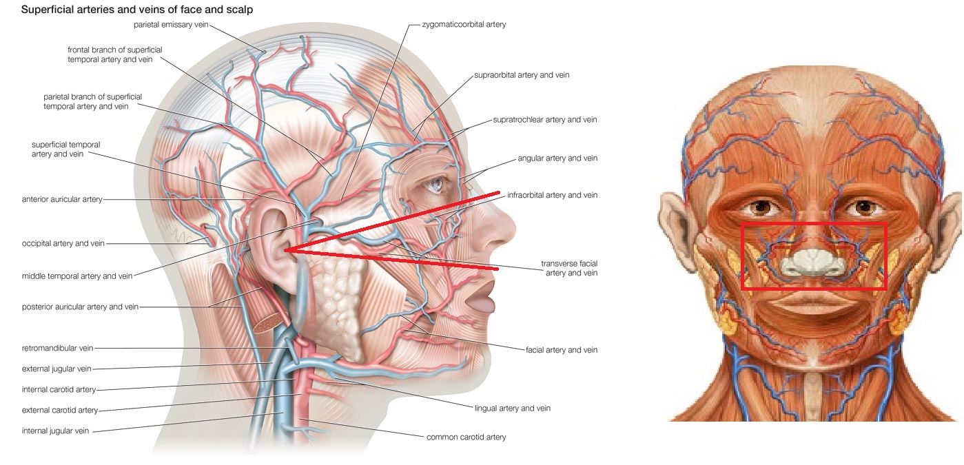 The Face Anatomy Diagram Of Cavities - All Kind Of Wiring Diagrams •