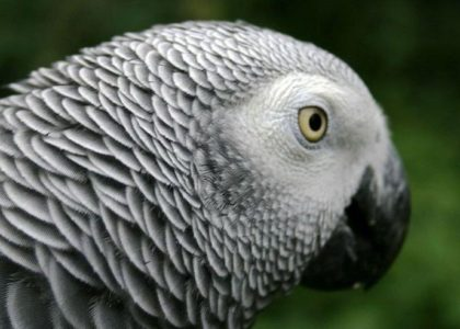Chatty parrot may be submitted as evidence in murder trial