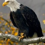 Texas teen charged after killing bald eagle with pellet rifle