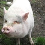 Adopted pig eaten weeks later!
